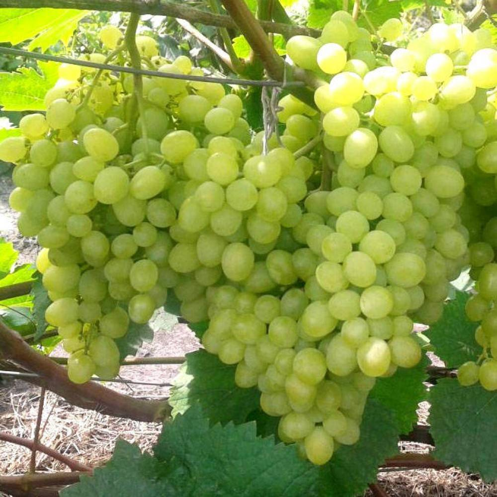 Виноград алешенькин описание