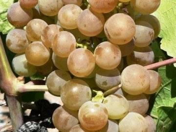 Виноград платовский: описание раннего сорта и особенности выращивания