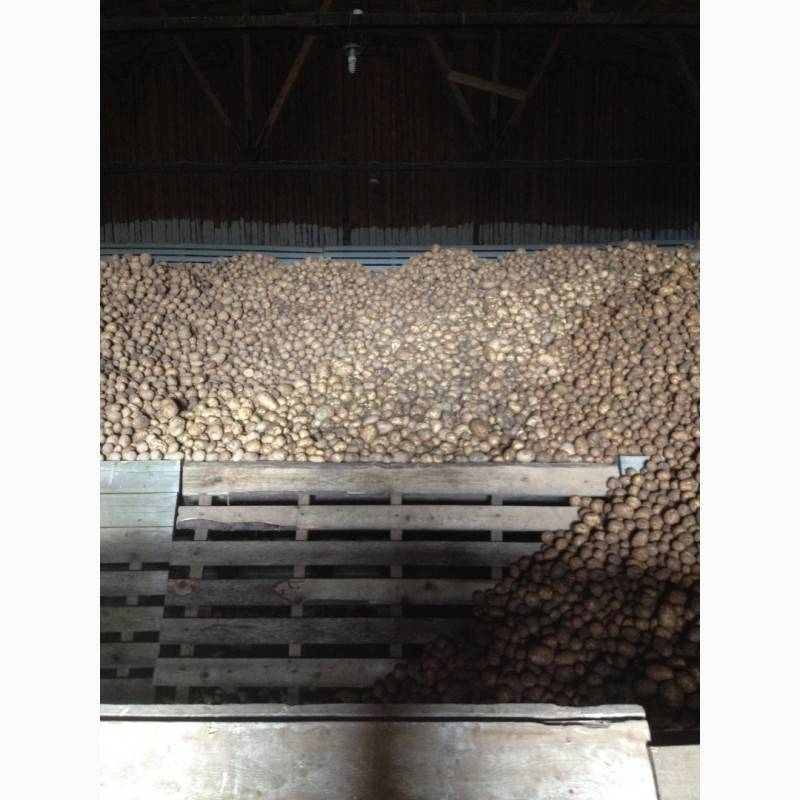 Сорт картофеля «айл оф джура (isle of jura)»: описание и фото
