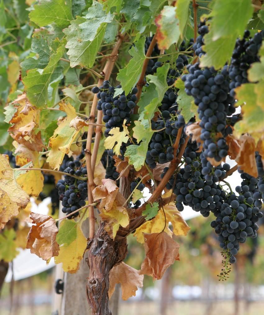 Почему вянут ягоды винограда на кусте?