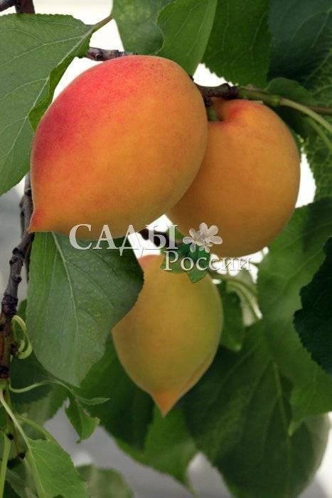 Зимостойкий абрикос кичигинский: описание сорта, посадка и уход