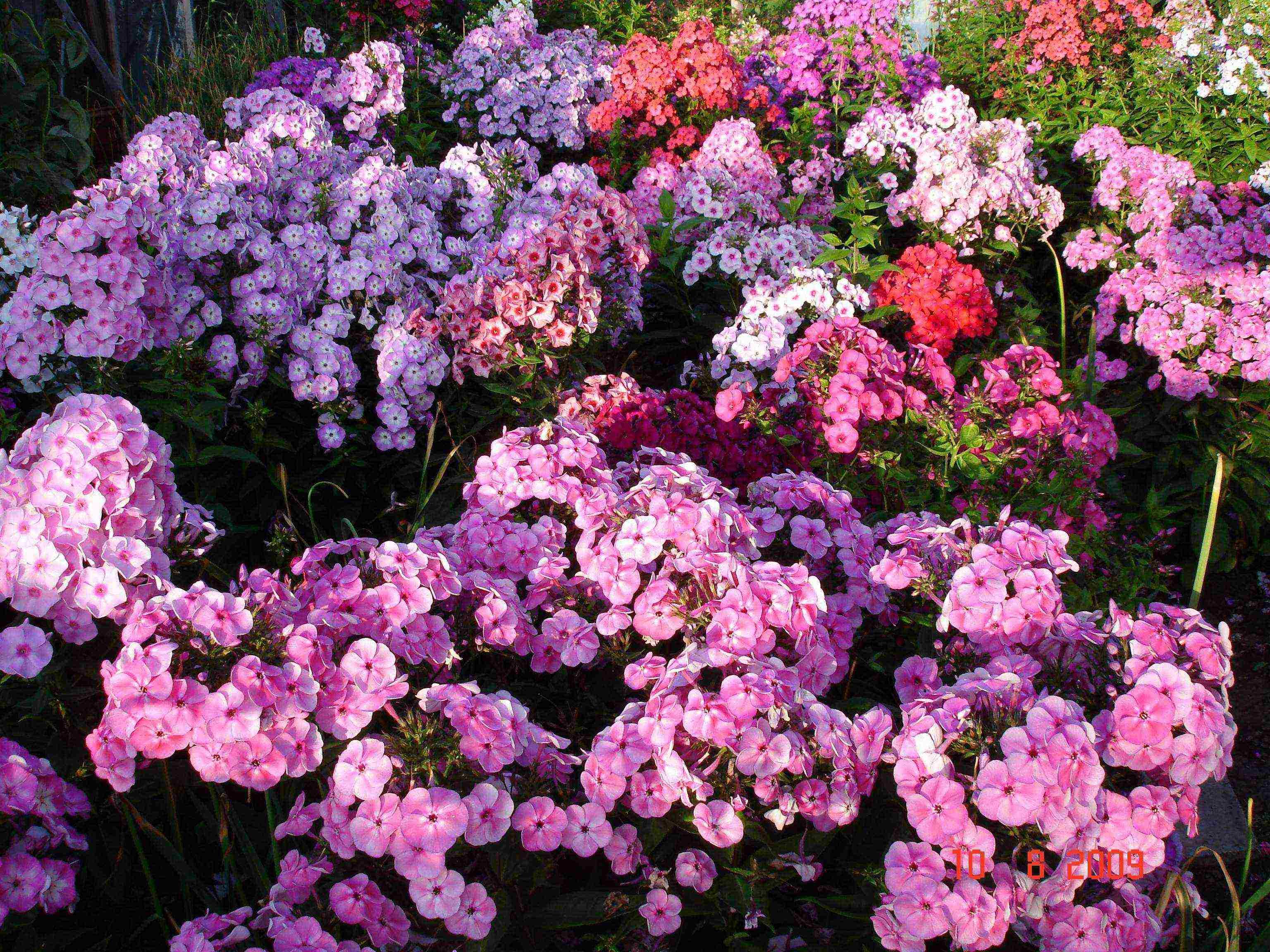 О флоксах: как правильно сажать в открытом грунте летом, осенью, весной
