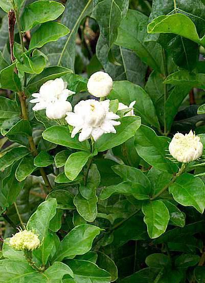 Лечебный жасмин: полезные свойства, применение и противопоказания цветов жасмина, как собирать жасмин