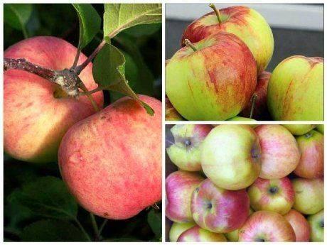 Ботаническое описание и агротехника выращивание яблони сорта вэм-розовый