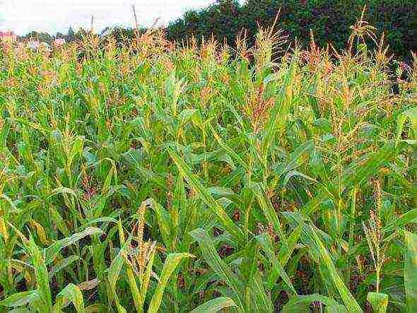 Как вырастить кукурузу на даче из семян или через рассаду: когда сажать, как ухаживать и другие особенности