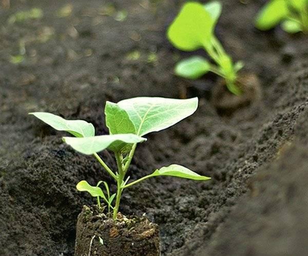 Посадка баклажанов в открытый грунт и особенности выращивания