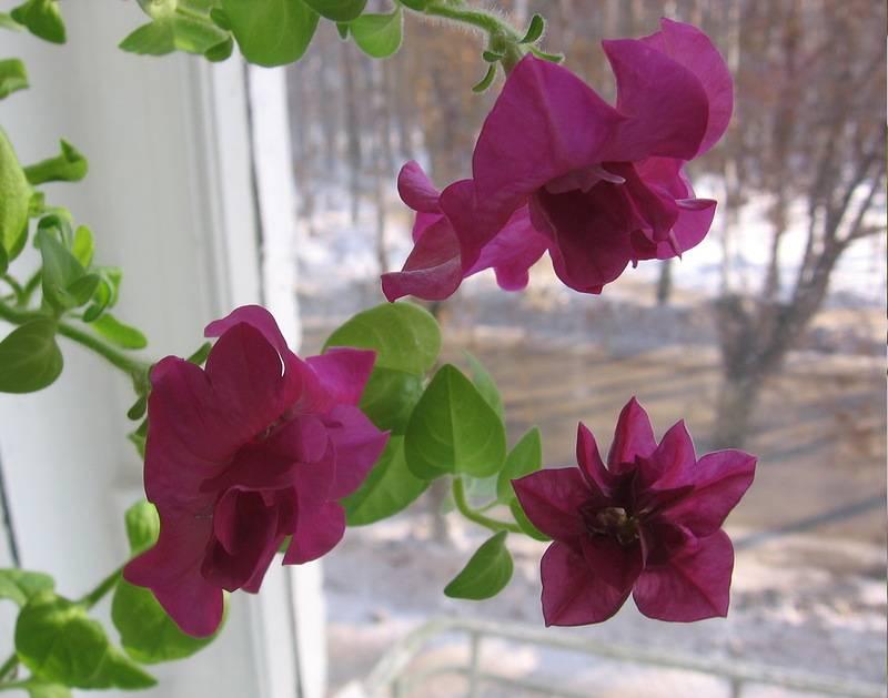 Петуния зимой как маточное и красивоцветущее комнатное растение. черенкование петуний