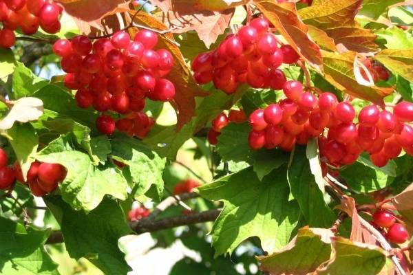15 сортов калины и особенности их выращивания