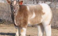 Почему у коровы слезятся глаза
