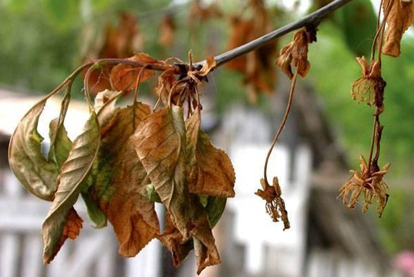О монилиозе вишни - как лечить: обработка, препараты, антибиотики