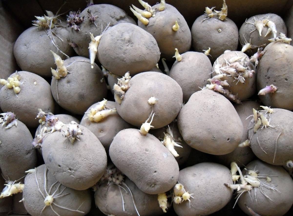 Чем и как обработать картофель перед посадкой