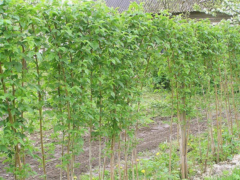 Как часто поливать малину - советы для обильного урожая.   садовый участок
