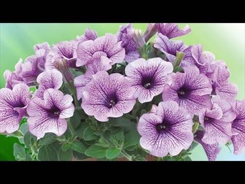 Чем подкормить петунию для обильного цветения?