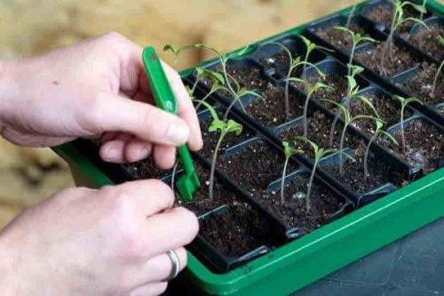 Вытянувшаяся и переросшая рассада томатов. средство, тормозящее её рост