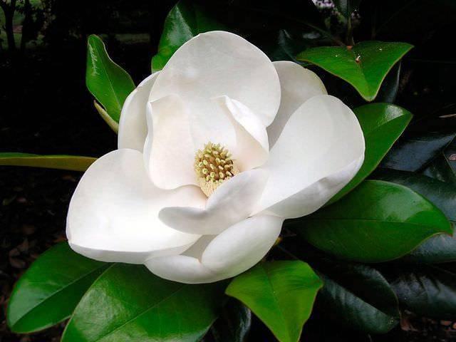 Цветок магнолия - все о выращивании древесной орхидеи в домашних условиях
