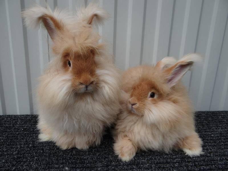 Ангорский кролик  фото, описание, ареал, питание, враги