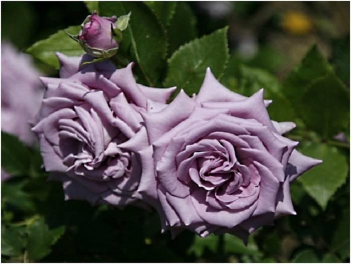 Описание плетистой розы индиголетта клайминг: что за сорт цветка, посадка и уход