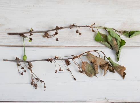 Вишня не распускается после зимы, почему на вишне мало листьев, что делать