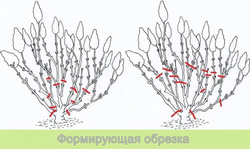 Как обрезать гортензию весной правильно и надо ли её обрезать