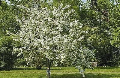 Описание и особенности выращивания сорта яблони услада
