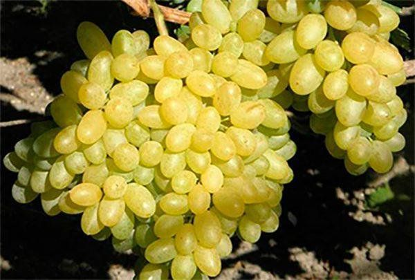Изумительное - белое чудо - виноград сорта бажена - общая информация - 2020