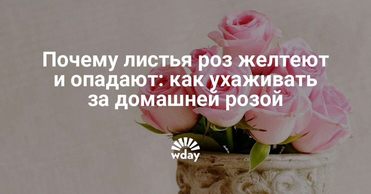 Почему у комнатной розы желтеют и опадают листья