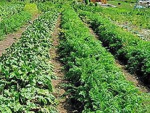 Преимущества и недостатки посадки моркови в гранулах. подробно о способе и возможных ошибках