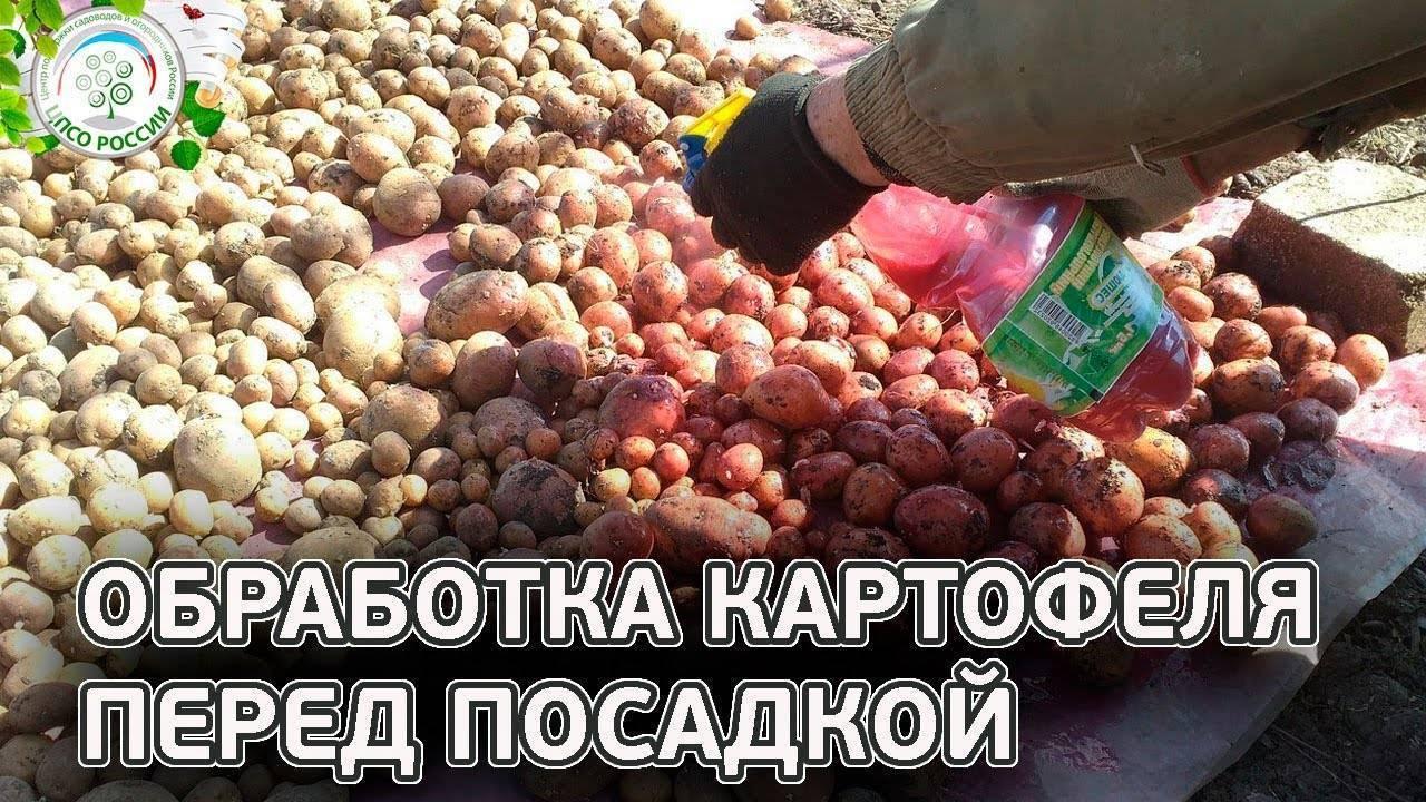 Качественная обработка картофеля перед посадкой: как и чем защитить от болезней и вредителей