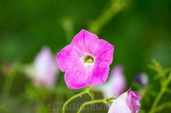 Однолетние цветы для дачи и сада