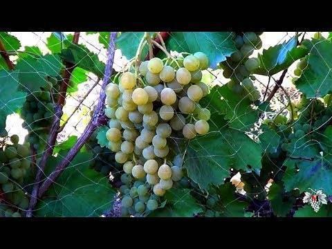 Популярный винный сорт винограда «цитронный магарача»
