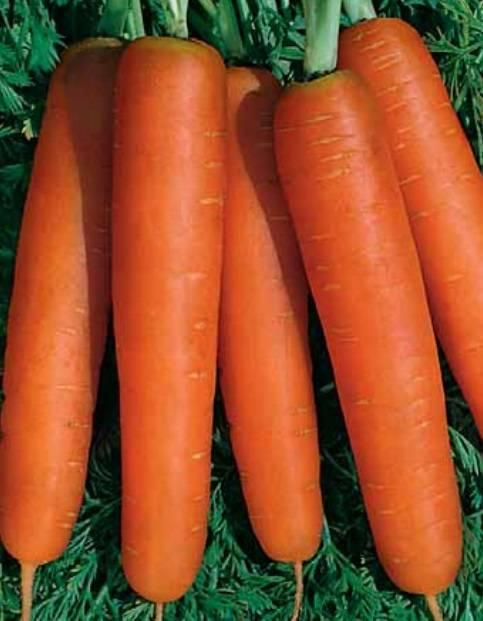 Характеристика моркови сорта нантская