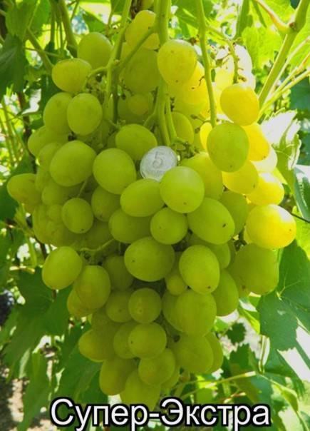 """Виноград """"супер экстра"""": описание сорта, вредители, заболевания и фото"""
