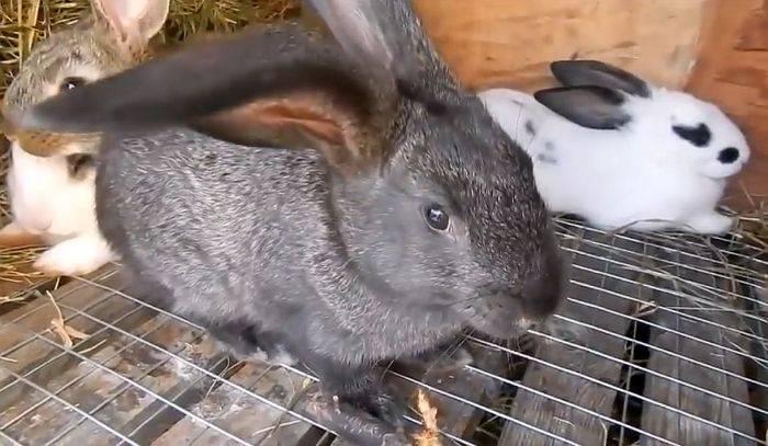Проявления и лечение кокцидиоза у кроликов