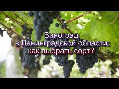 Виноград – посадка и уход