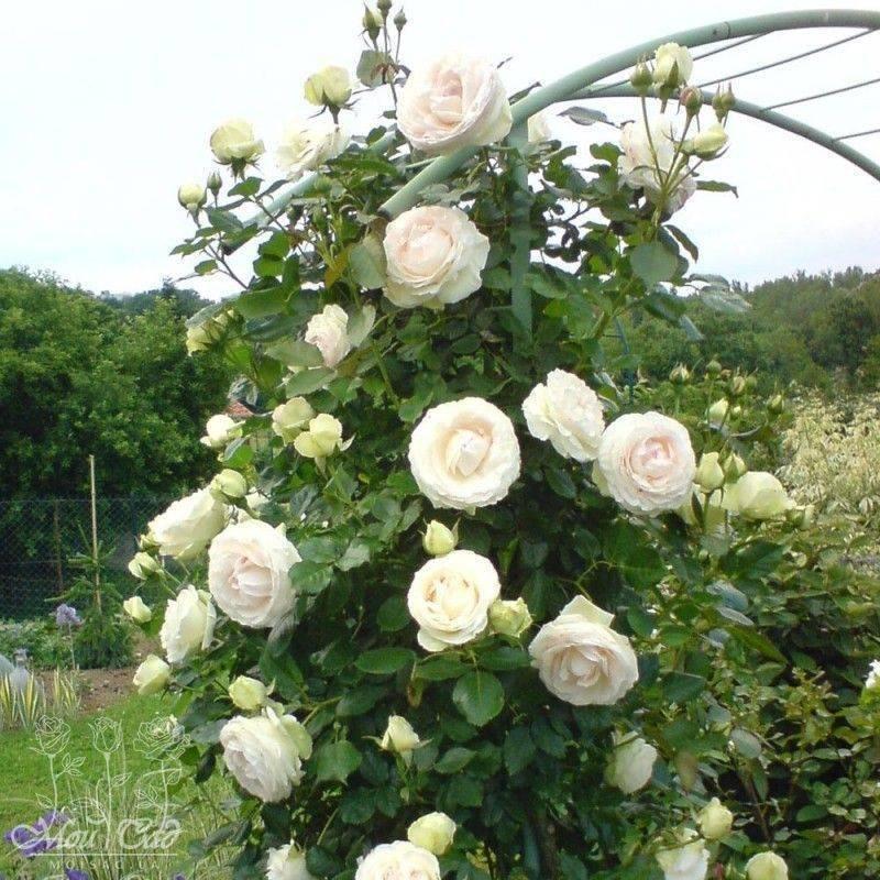 Плетистые розы – лучшие сорта для вашего цветника