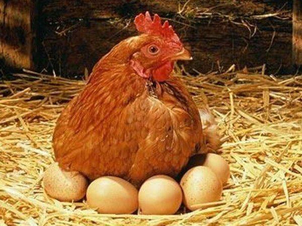Какие породы кур самые лучшие несушки - подробный обзор + сравнение яйценоскости!