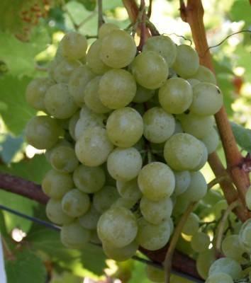 Описание винограда сорта галбена ноу, правила посадки и ухода