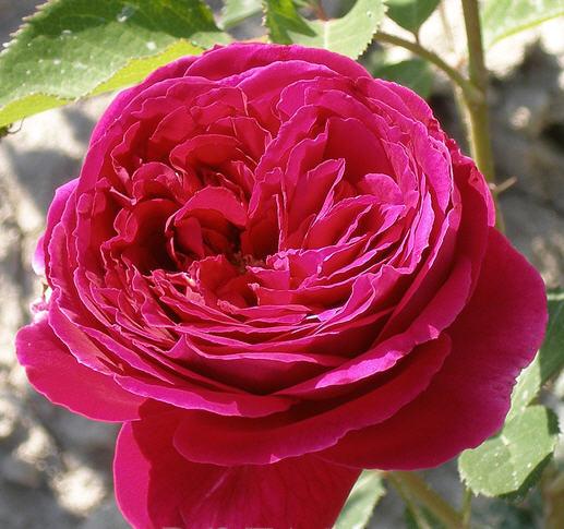 Роза фальстаф: описание, посадка, уход