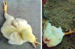 Почему цыплята падают на ноги и что с этим делать?