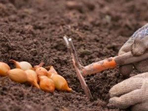 Как сажать лук весной? методика и сроки посадки лука севок / посева семенами (чернушка)