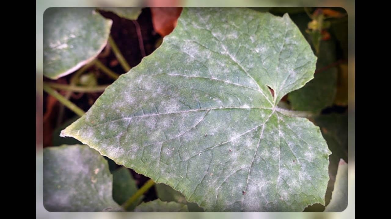 Описание болезней и вредителей огурцов, лечение и профилактика