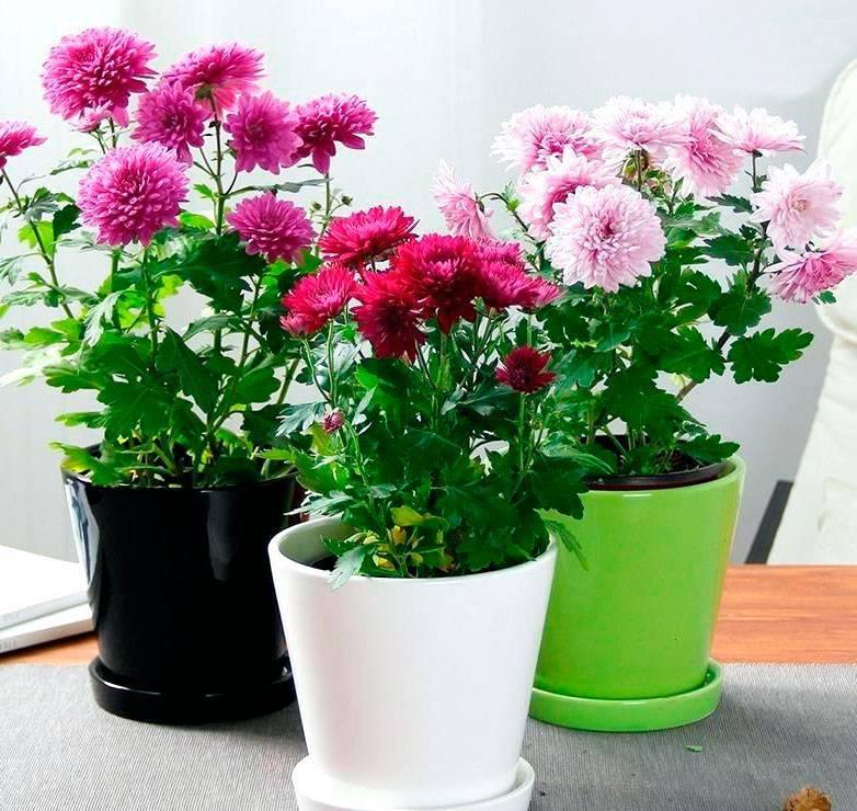 Домашняя хризантема в горшке как ухаживать. как выбрать месторасположение цветка