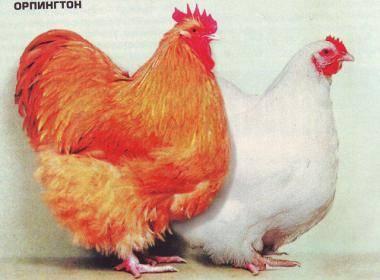 Высокое качество мяса и приятный внешний вид — это куры породы орпингтон