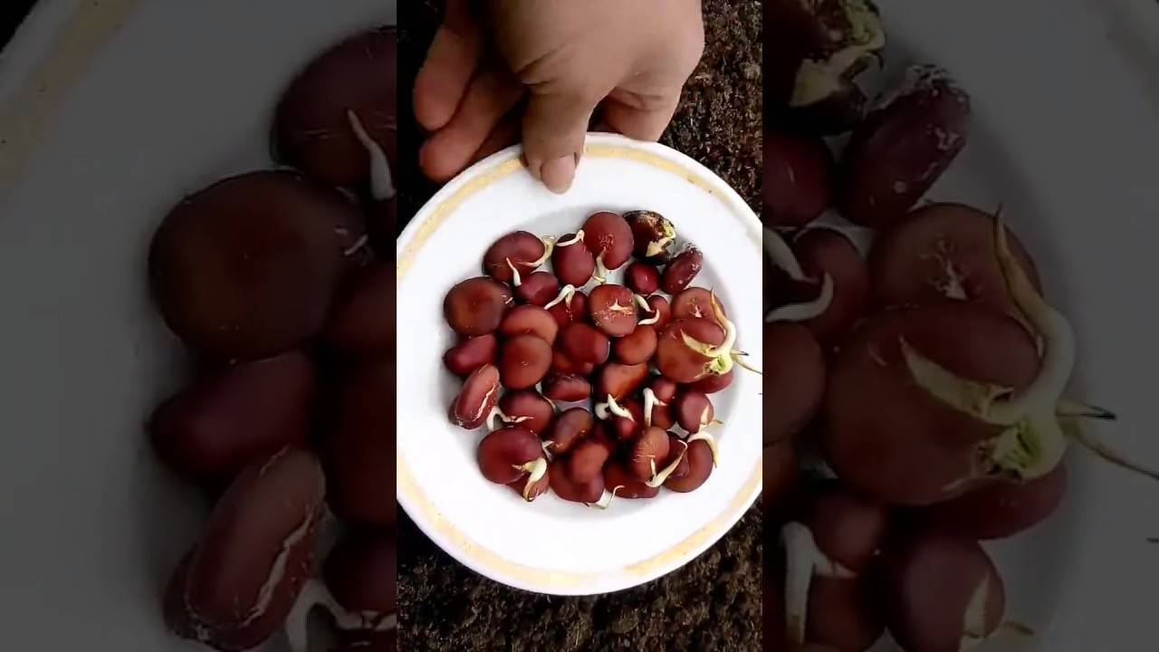 Как сажать бобы