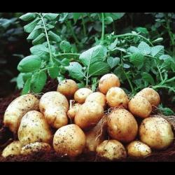 Картофель коломбо: характеристика и описание раннего сорта
