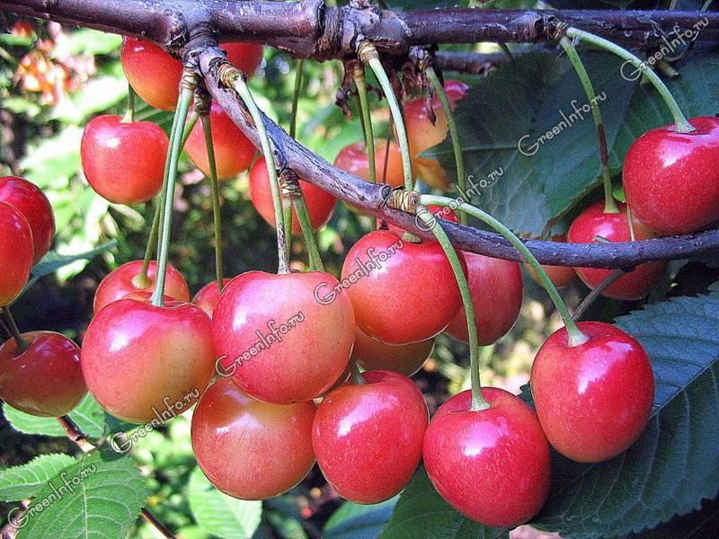 Отличие листьев черешни от вишни. что полезнее, вишня или черешня? когда и куда высаживать вишню