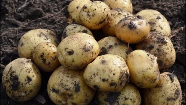 Картофель елизавета отзывы