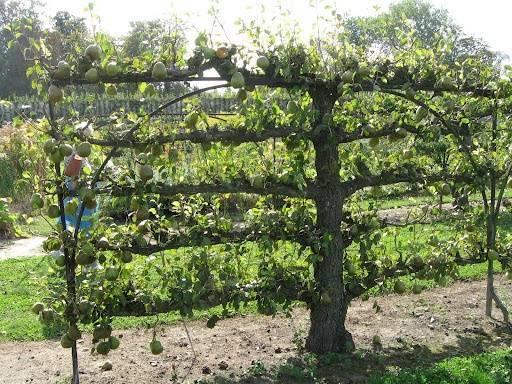 Как посадить грушу? пошаговое описание посадки и советы опытных садоводов по выбору сорта и места размещения груши (125 фото + видео)