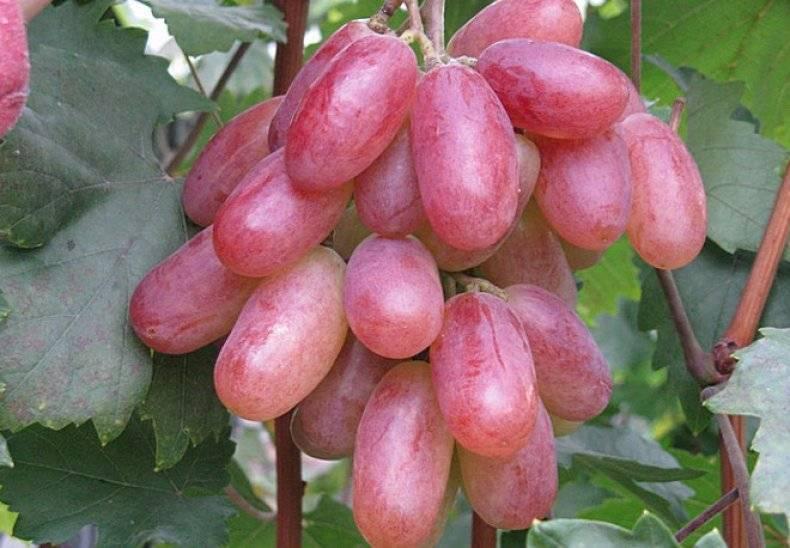Гурман ранний виноград — ягоды грибы