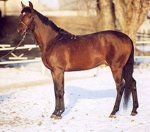 О тракененской породе лошадей: характеристика тракена и его особенности